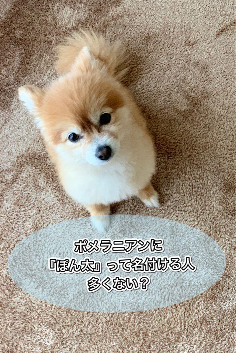 ポメラニアンの名前で ぽん太 はなぜ多い ポメラニアン ポメラニアン かわいい 犬