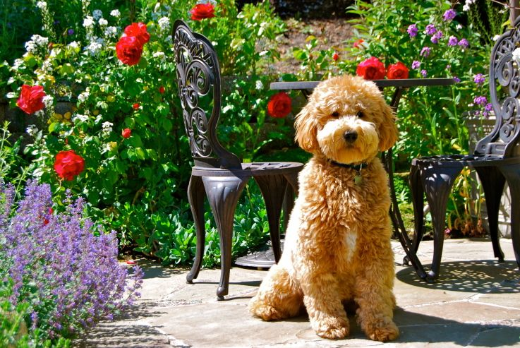Teddy bear goldendoodle breeders near me