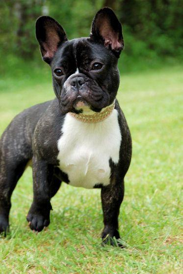 Rosa 09b Jpg 373 560 Pixel Bulldogge Franzosische Bulldogge Franzosische Bulldogge Mix
