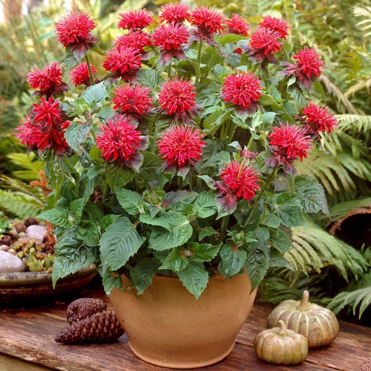 Beautiful Bee Balm Looks Great In A Container! Patio Plants: Container  Gardening With Perennials