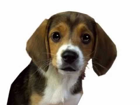 Shiloh Lesson Plans Author Phyllis Reynolds Naylor Cute Beagles
