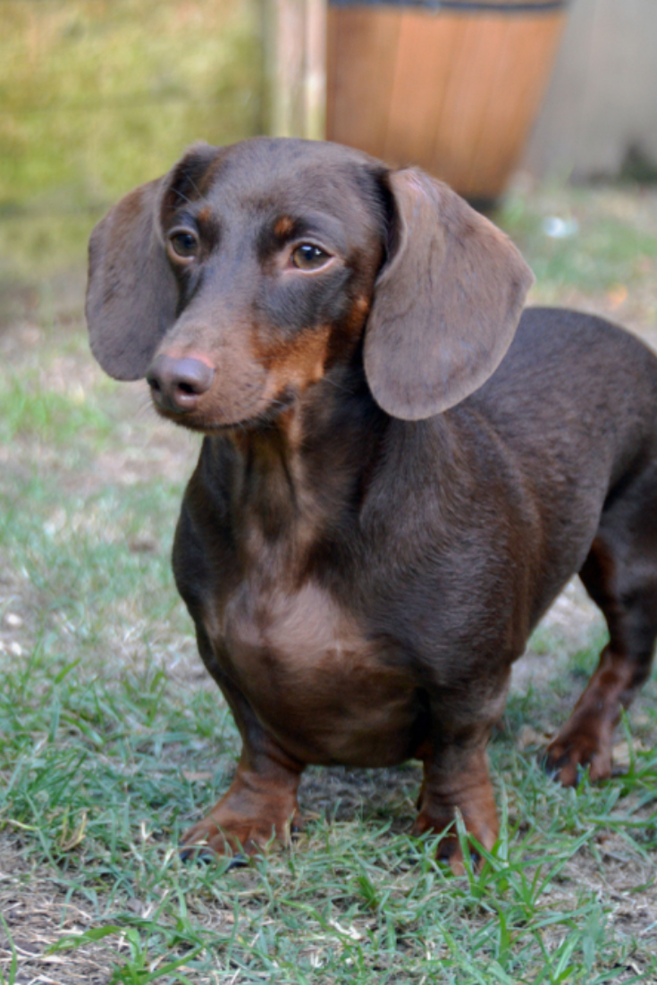 Brown And Tan Smooth Haired Dachshund Full Body Dachshund Dachshund Mix Dachshund Pets