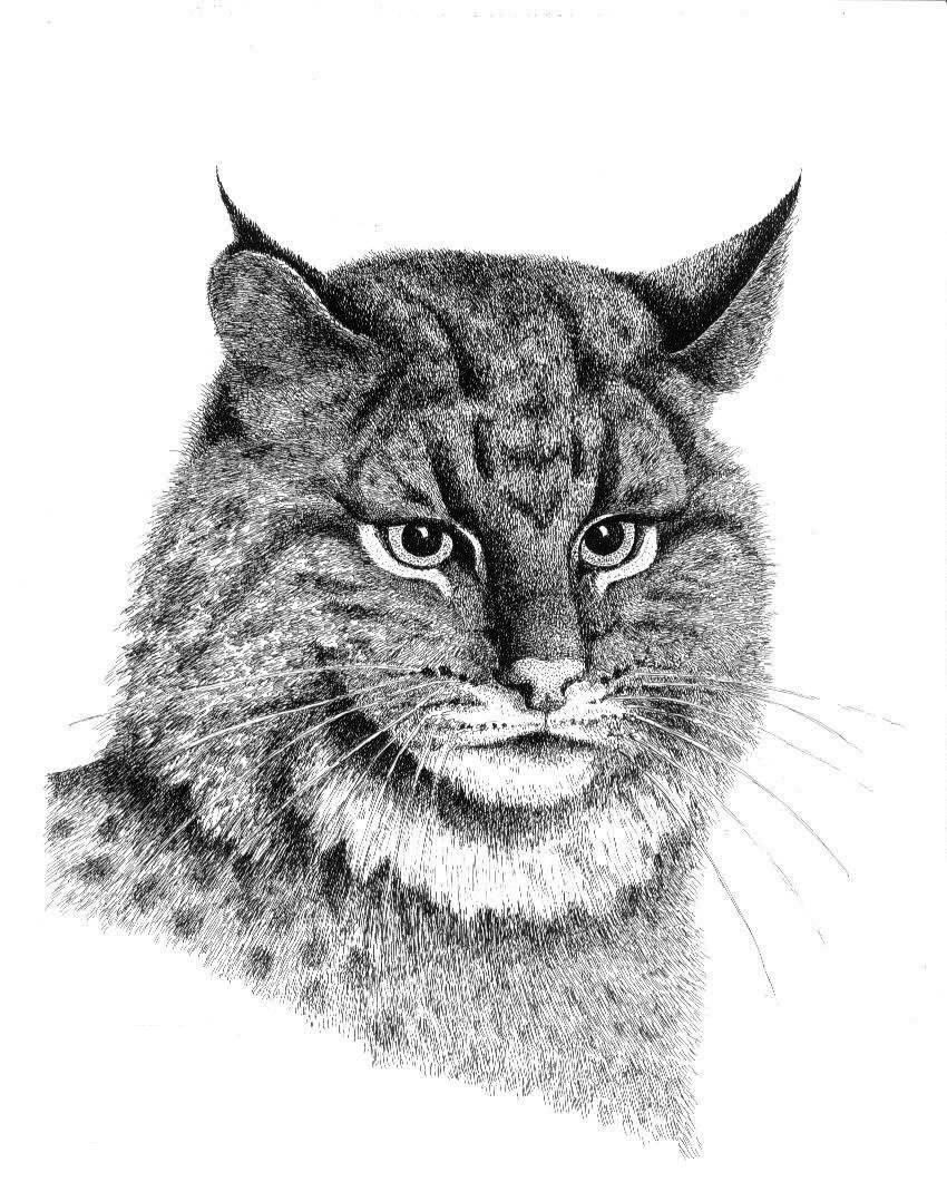 Pen and Ink Drawings of Bobcat