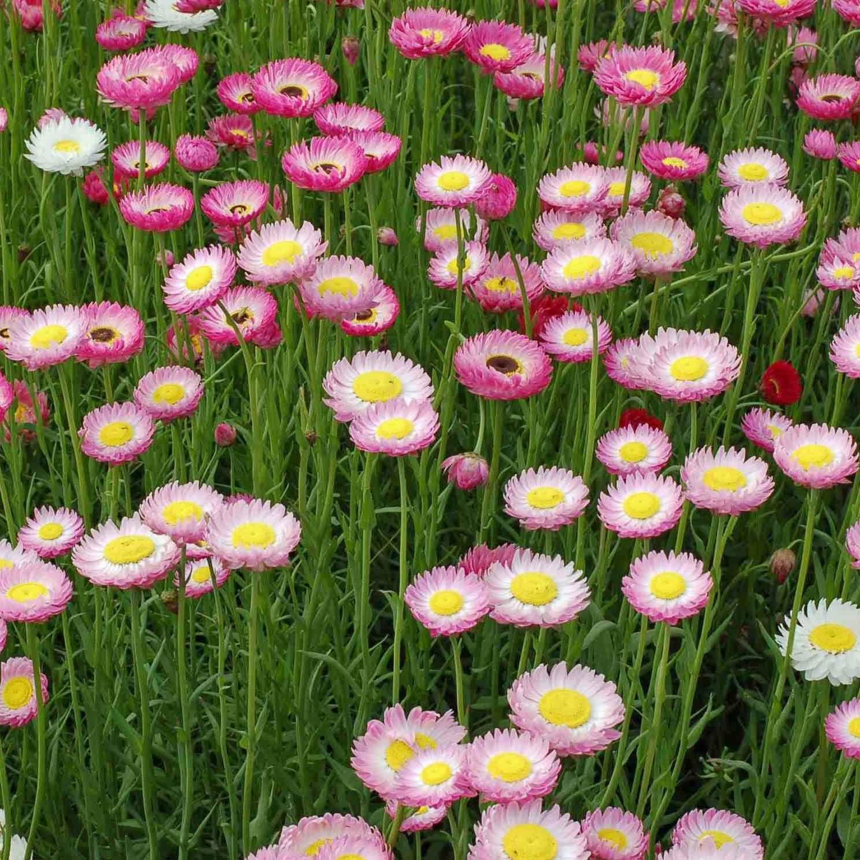 paper daisy Google Search Australian native flowers
