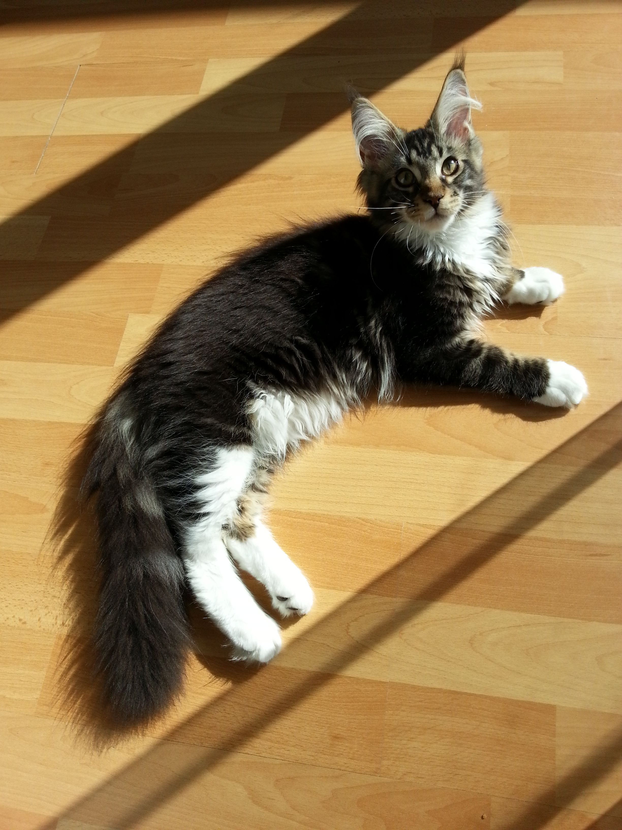 Pin Na Doske Maine Coons