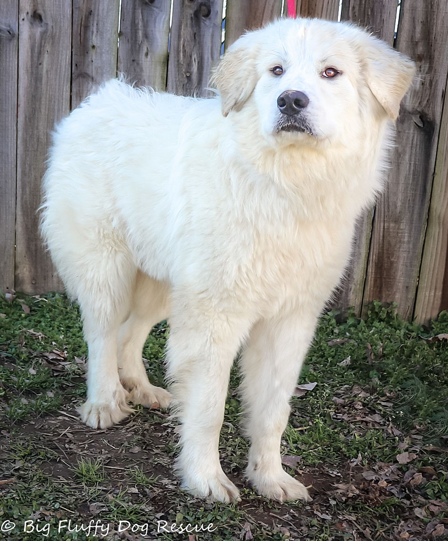Adopt Bess On Big Fluffy Dog Rescue Big Fluffy Dogs Great Pyrenees