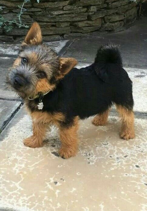 Perfectly adorable Black and Tan Norwich puppy