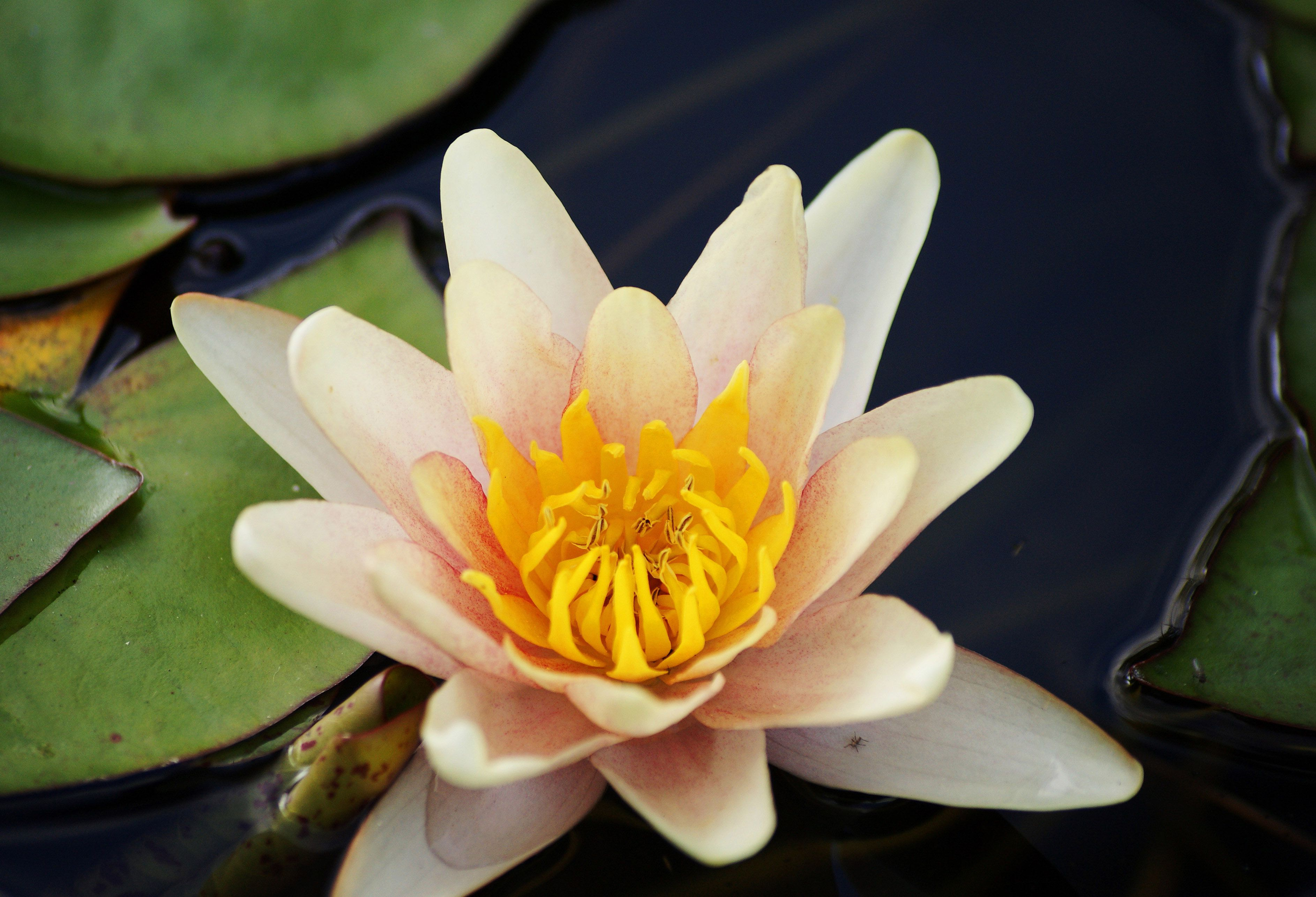 Nature high resolution image with white lotus flower flower nature high resolution image with white lotus flower izmirmasajfo