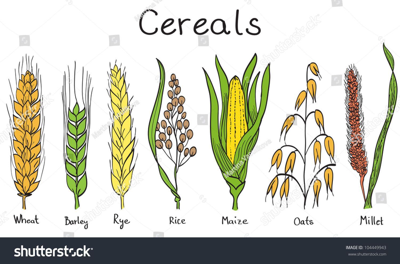 Rice Plant Tattoo