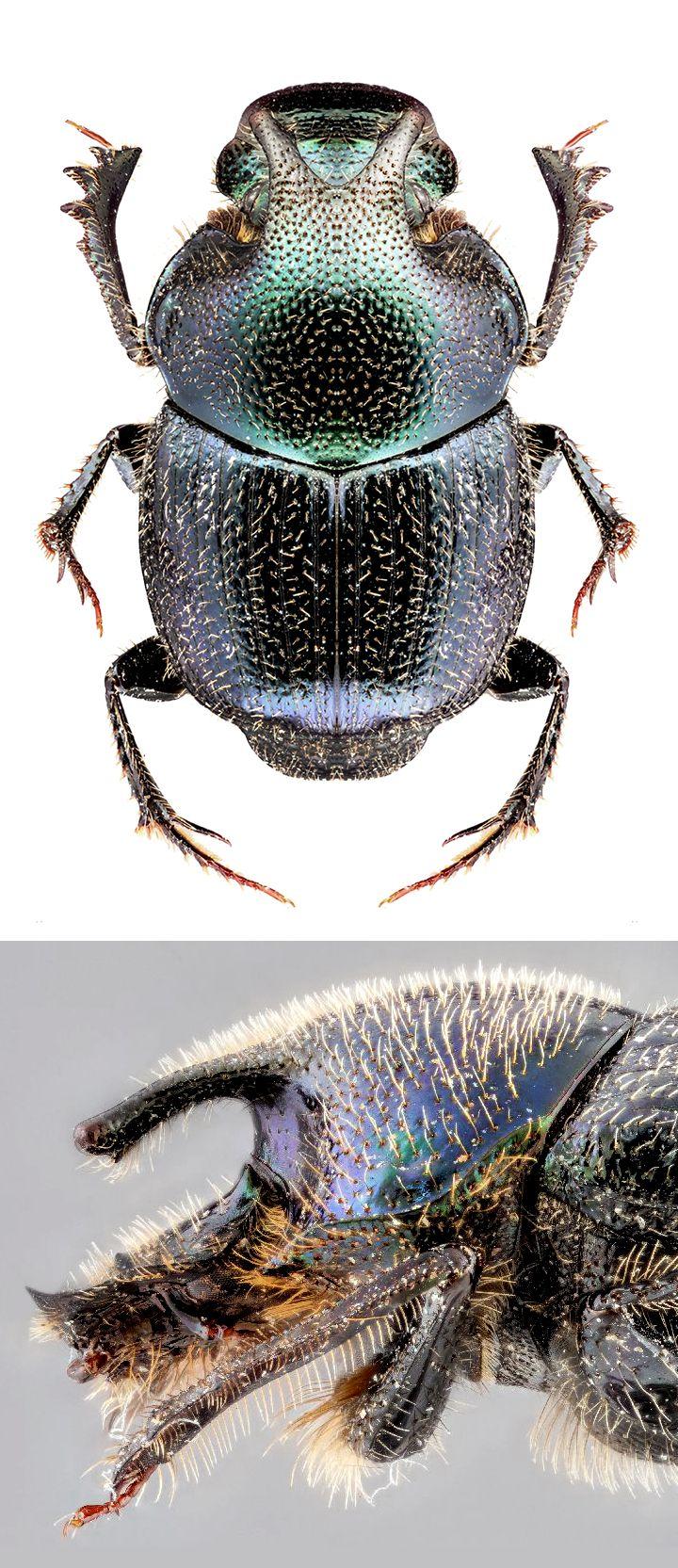 Onthophagus orpheus pseudorpheus