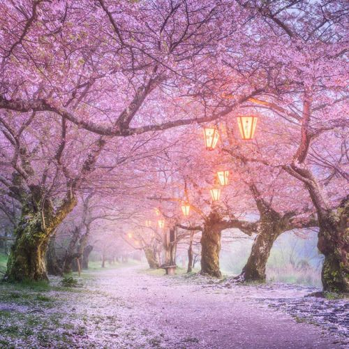Flowering Trees Path Lights Tree Japan Trees Flowers Pink Nature