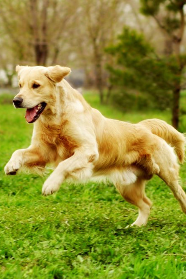 Beautiful Happy Dog Golden Retriever Running Around And Playing In The Summer On The Nature Goldenretriever Golden Retriever Dogs Golden Retriever Retriever