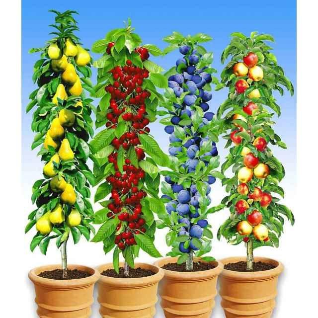 Säulen Obst Kollektion, 4 Pflanzen   BALDUR Garten GmbH ...