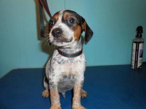 Adopt Merlin On Petfinder Rat Terrier Dogs Terrier Rescue Rat Terriers