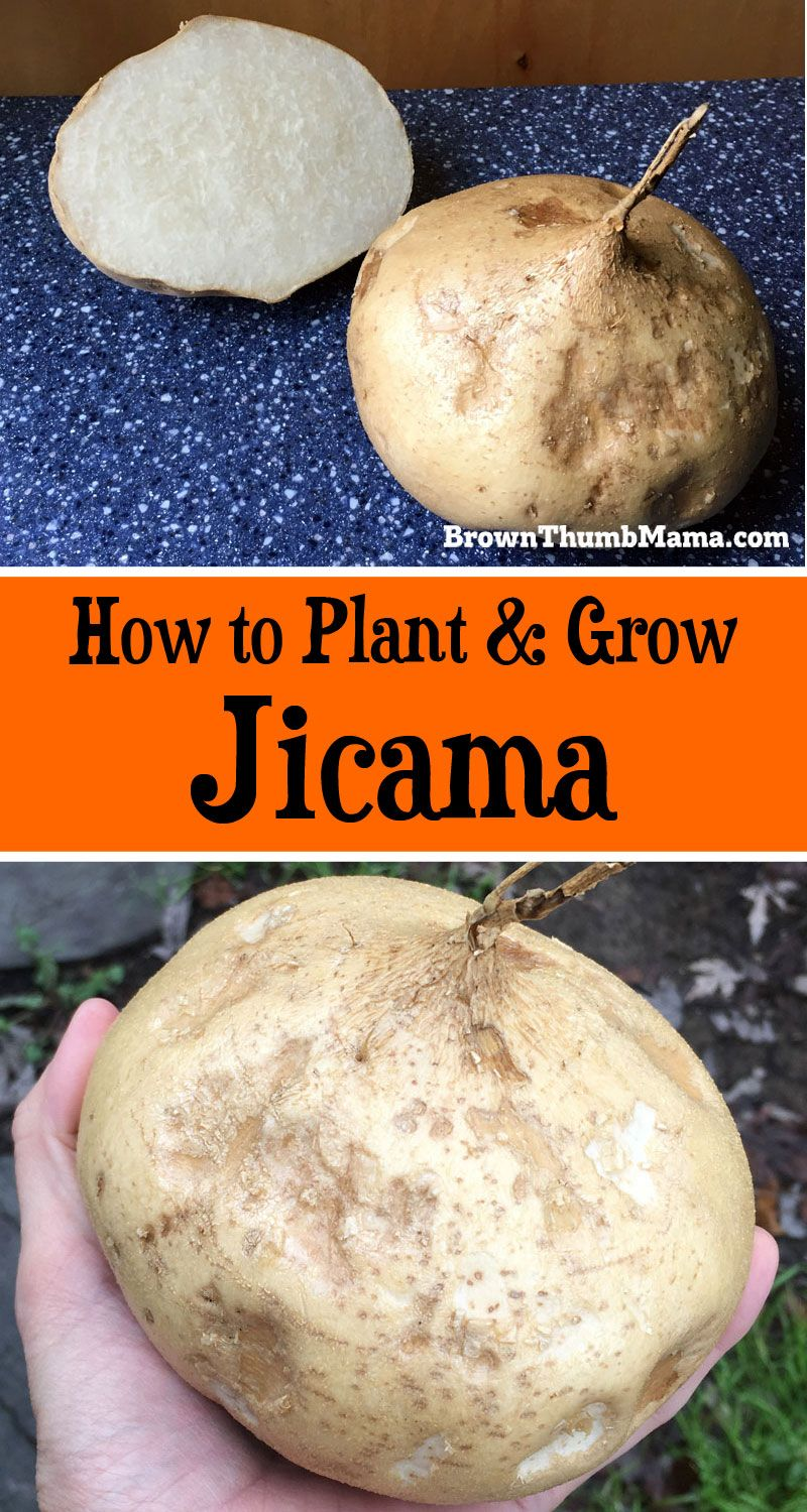 Here S Everything You Need To Know Plant And Grow Jicama In Your Garden Gardening
