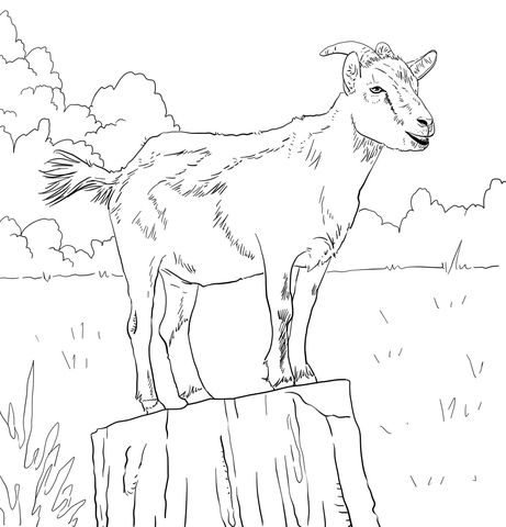 Realistic Domestic Goat Coloring Page Coloring Pages Goat Art