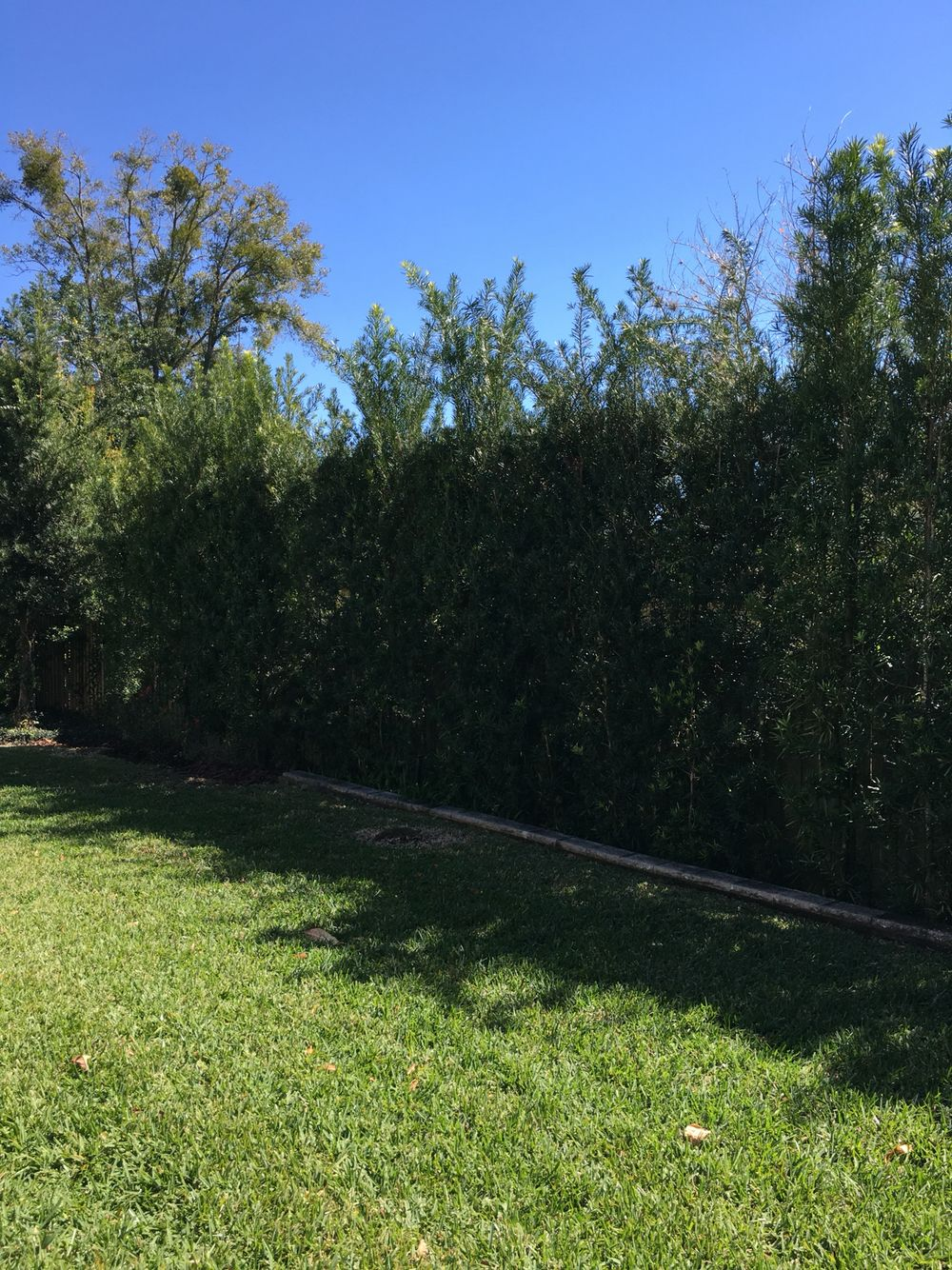 Garden trees for screening  Screening of a privacy fence with podocarpus  Houses Outside