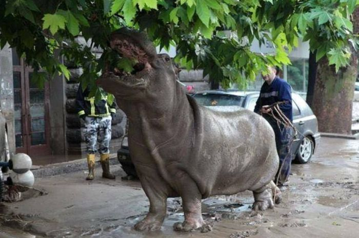 Jumanji on Tbilisi streets stray animals escaped from a flooded zoo