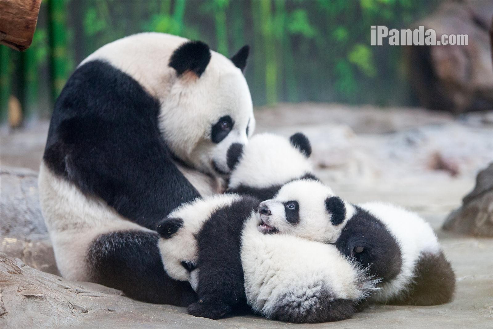 Panda triplets grow diary (five): reunion - iPanda.com