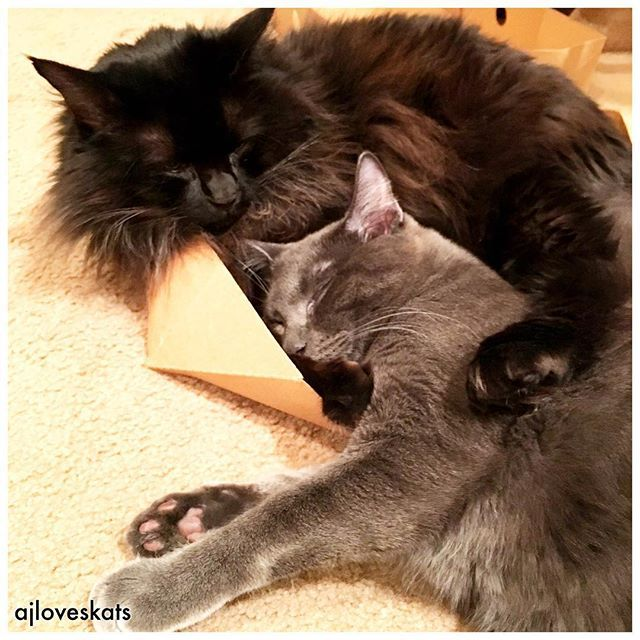 """""""In the arms of the angel, fly away from here.""""  #Angel #lovethissong #cuddles #holdme #neverletgo #russianblue #blackcat #bff #katze #gato #ilovemycat #crazycatlady #whiskerwednesday #purr #meow #CurePetCancer #cats #catsofinstagram"""
