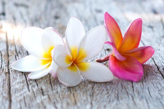 Plumeria Plumeria Flowers Flower Meanings Flowers
