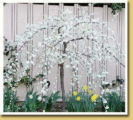 Weeping Santa Rosa Plum Ultra Dwarf Patio Tree Graceful