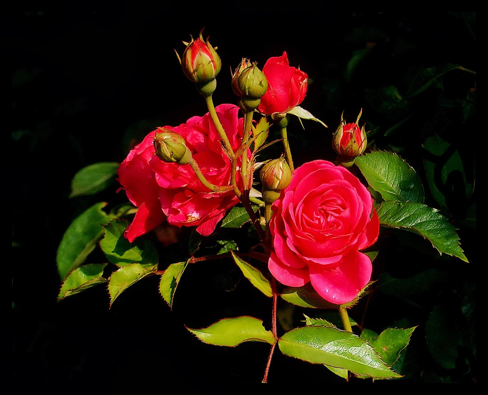 Mind Blowing Hd Red Rose Wallpaper Image Wallpapers Hd Wallpapers