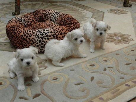 We Have One Male And Two Female Maltese Puppies Available And