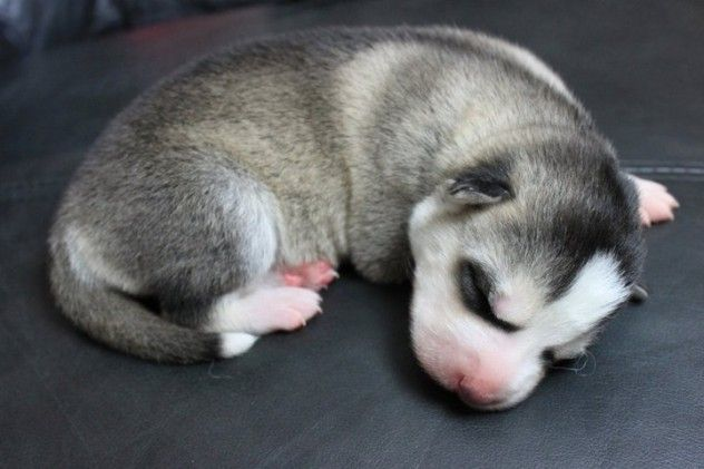 Newborn Husky Husky Puppy Cute Puppies Alaskan Husky
