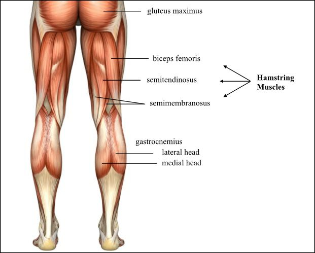 Anatomy of hamstring muscles