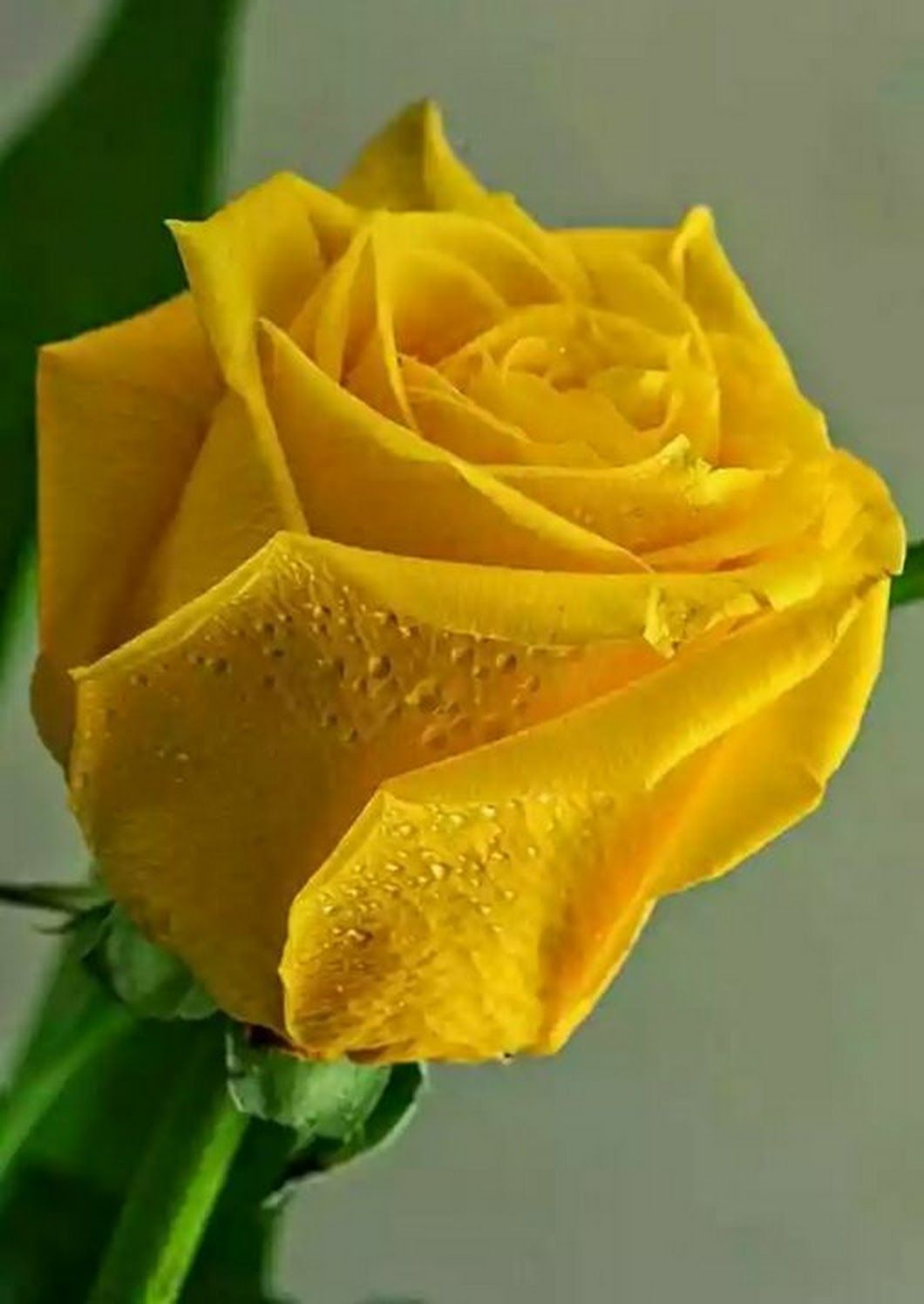 Rosas Pinterest Flowers Rose And Flower