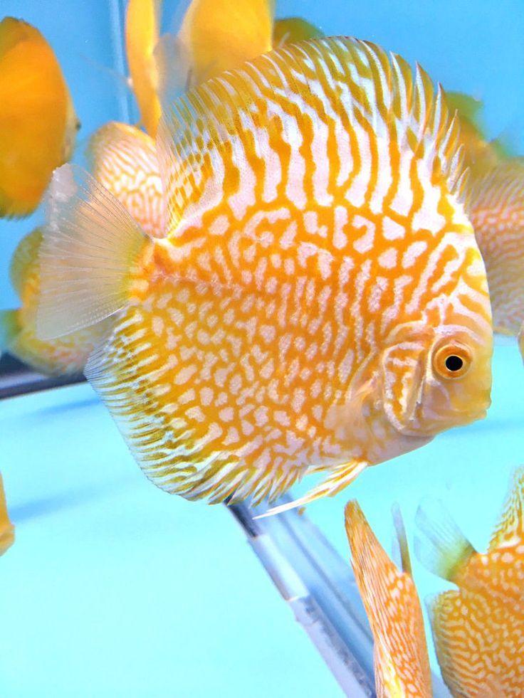 Pin on Freshwater aquarium fish