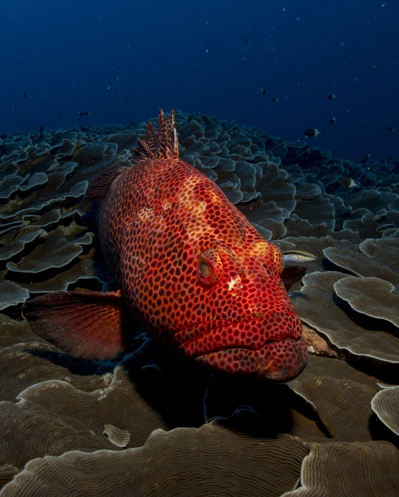 Red grouper A fish that uses red color to send signals like traffic