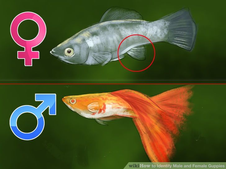 How To Identify Male And Female Guppies Guppy Fish Guppy Pet Fish