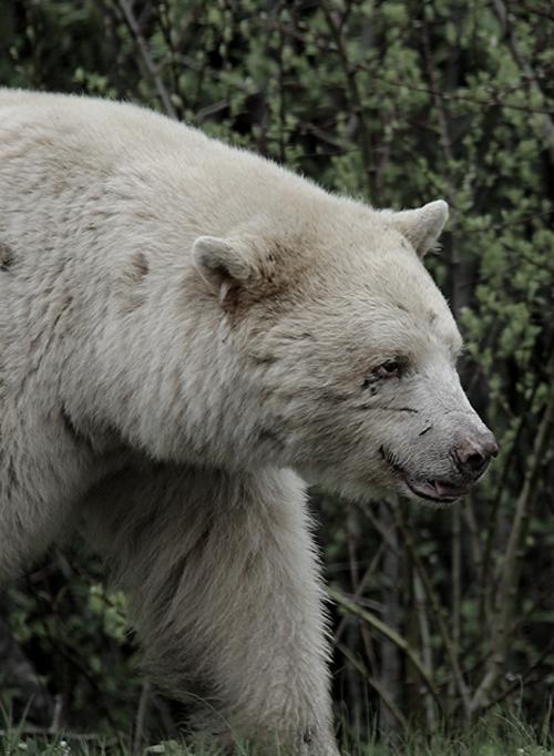 Kermode Bear Spirit bear, American black bear, Polar bear