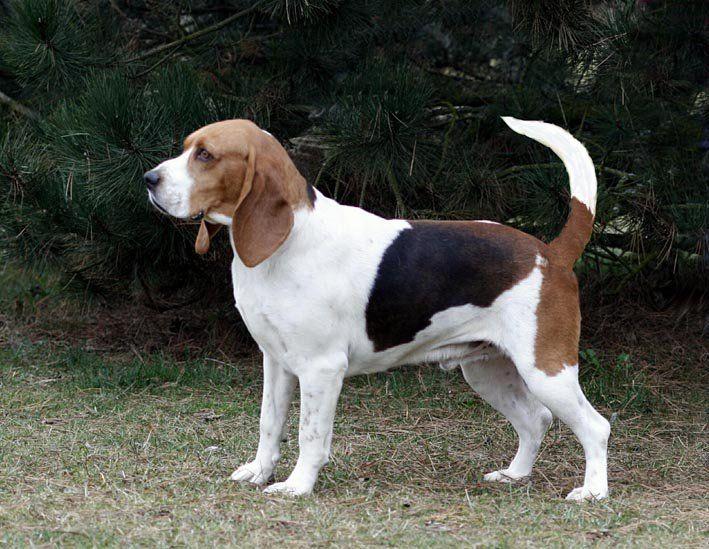 Artois Hound Chien D Artois Briquet 03 Hound Dog Dog Breeds