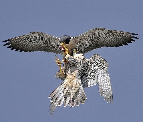 Peregrine Falcon Mid-Air Food Transfer (With images) | Peregrine ...