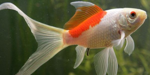 All You Need to Know About Sarasa Comet Goldfish (With ...