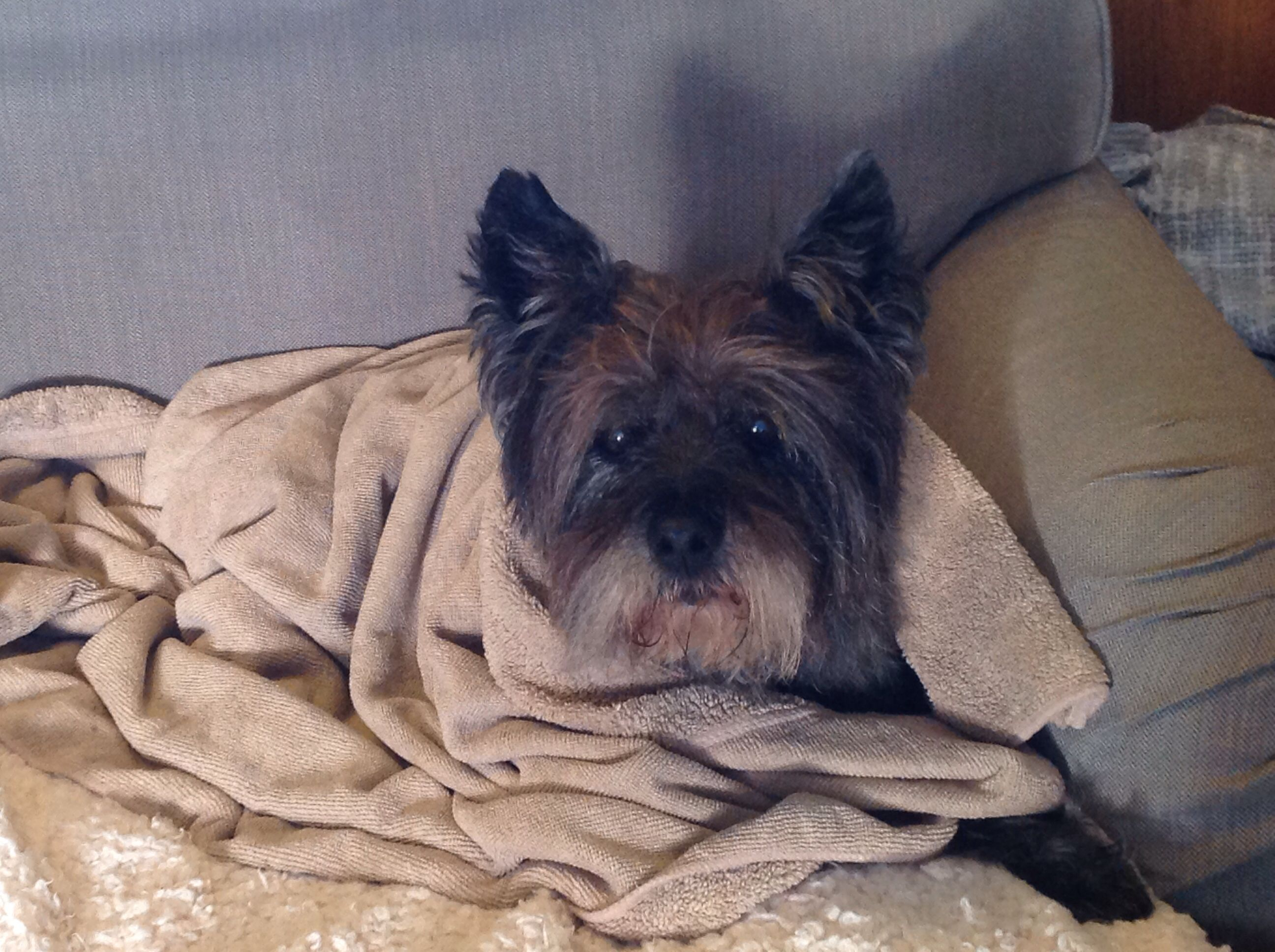 Cairn Terrier Grumpy Faced Roo After His Bath Terrier