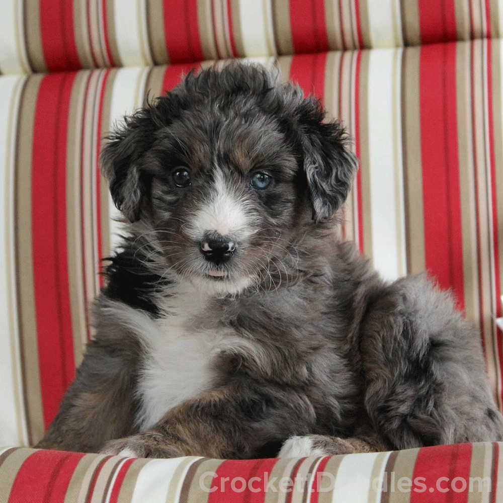 How Sweet Is This Gray Merle Aussiedoodle Puppy Doodle Puppy