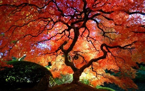 valedictory poem 'Japanese Maple' by Clive James