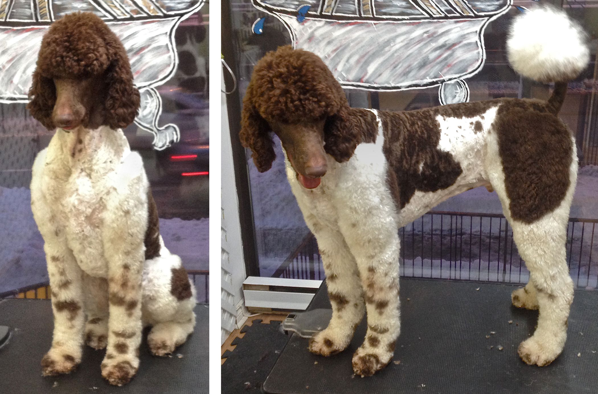 standard poodle modified town and country clip grooming by me rh pinterest com
