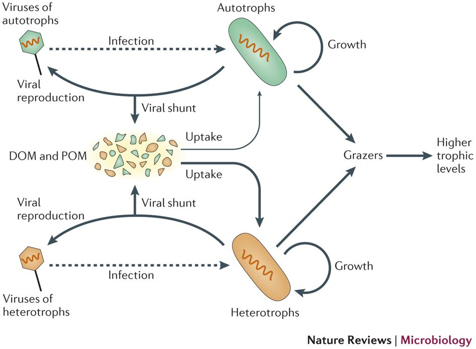 When Infected Bacteria And Phytoplankton Burst New Viruses And Cell Debris Pour Out The Cell Debris Mass Up Disso Organic Matter Microorganisms Trophic Level