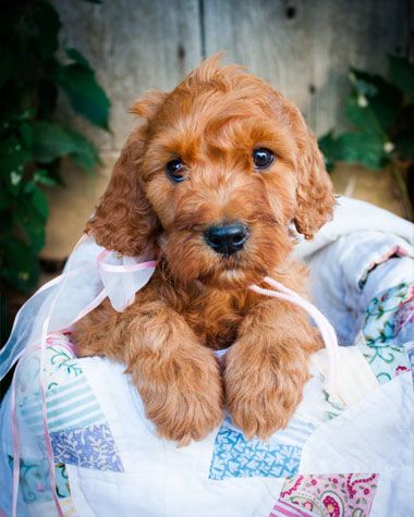 Irish Doodle Puppy For Sale Irish Doodle Puppies Doodle Puppy