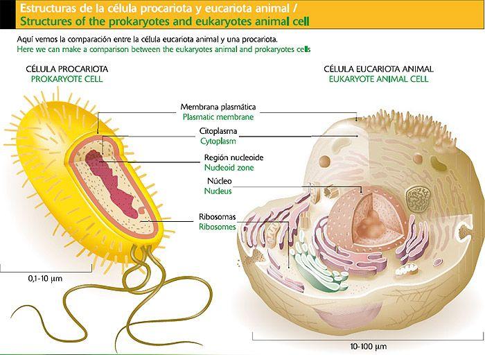 Diferencias Entre Células Eucariotas Y Procariotas Cell Membrane Coloring Worksheet Prokaryotic Cell Cell Membrane
