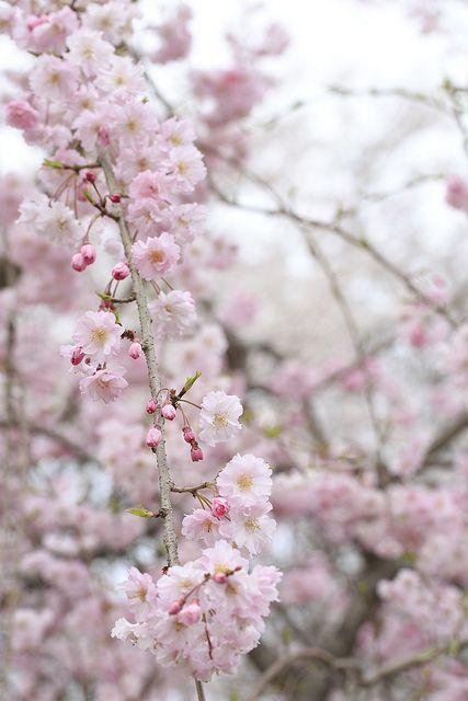 Sakura Shidare3 Bunga Sakura Jeonju Bunga