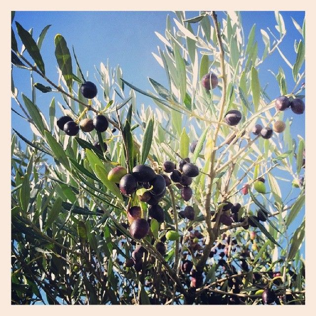 Not long before we net the Elephant Hill olives. The colour is really making them attractive to the local birds!