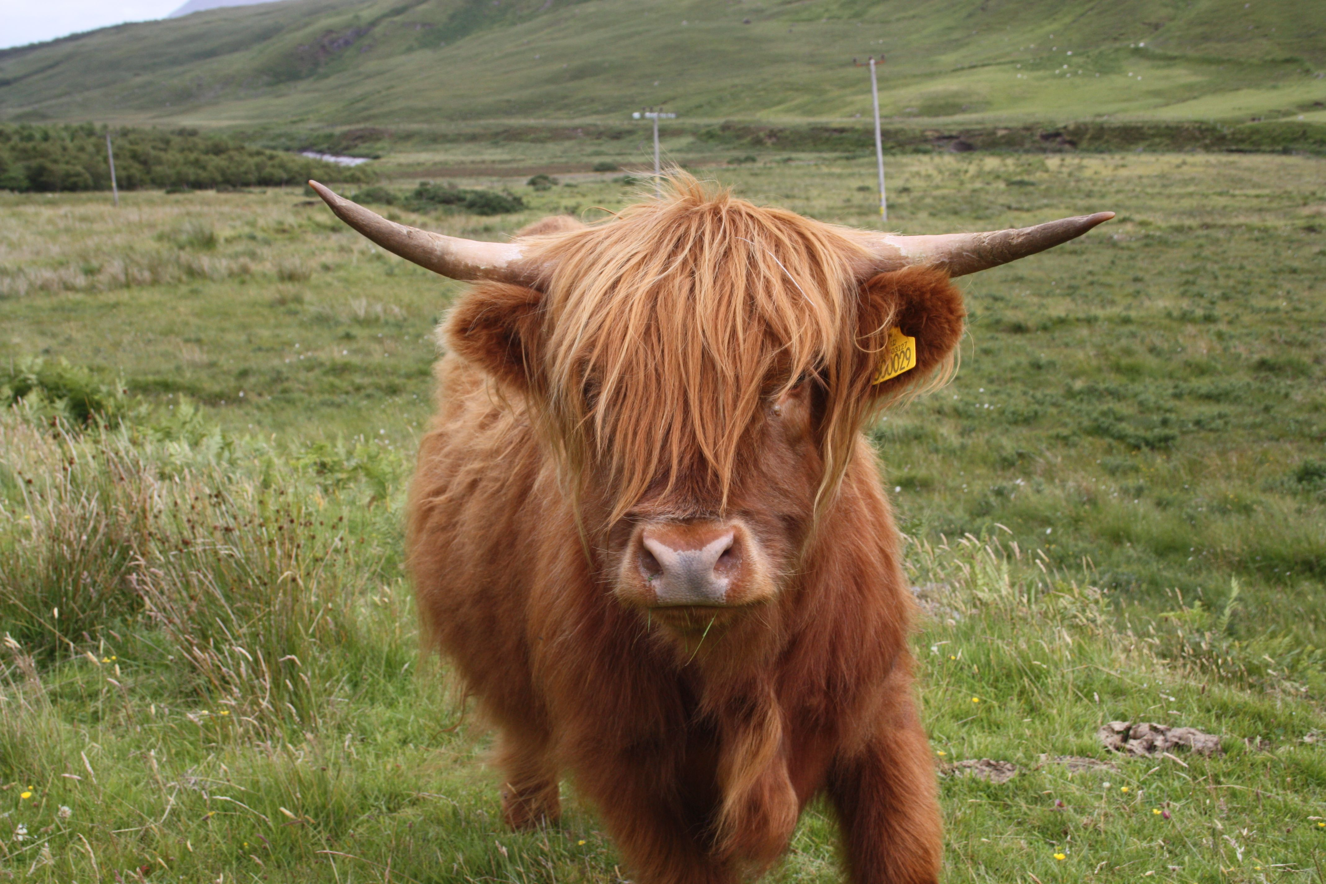 Highland cow scottish highland cows cattle or hairy for Www coo