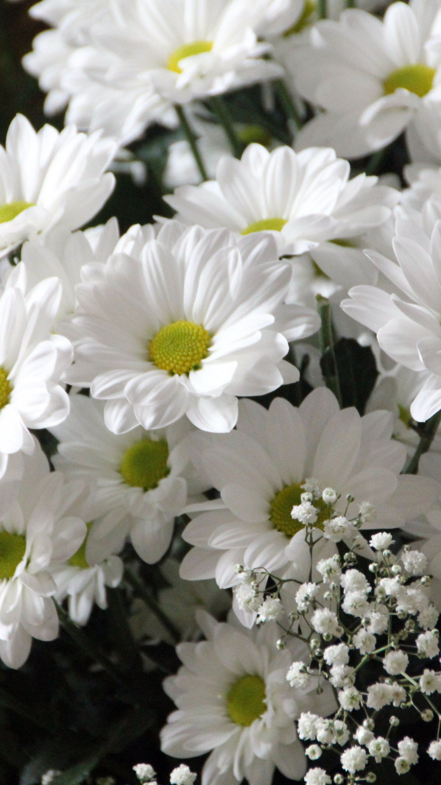 White Daisies Wallpaper iPhone, Android & Desktop