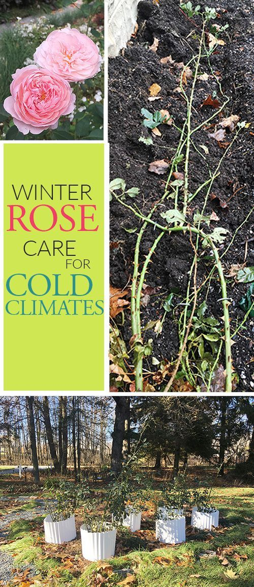 How To Take Care Of Your Roses Over Winter If You Live In A Cold Climate